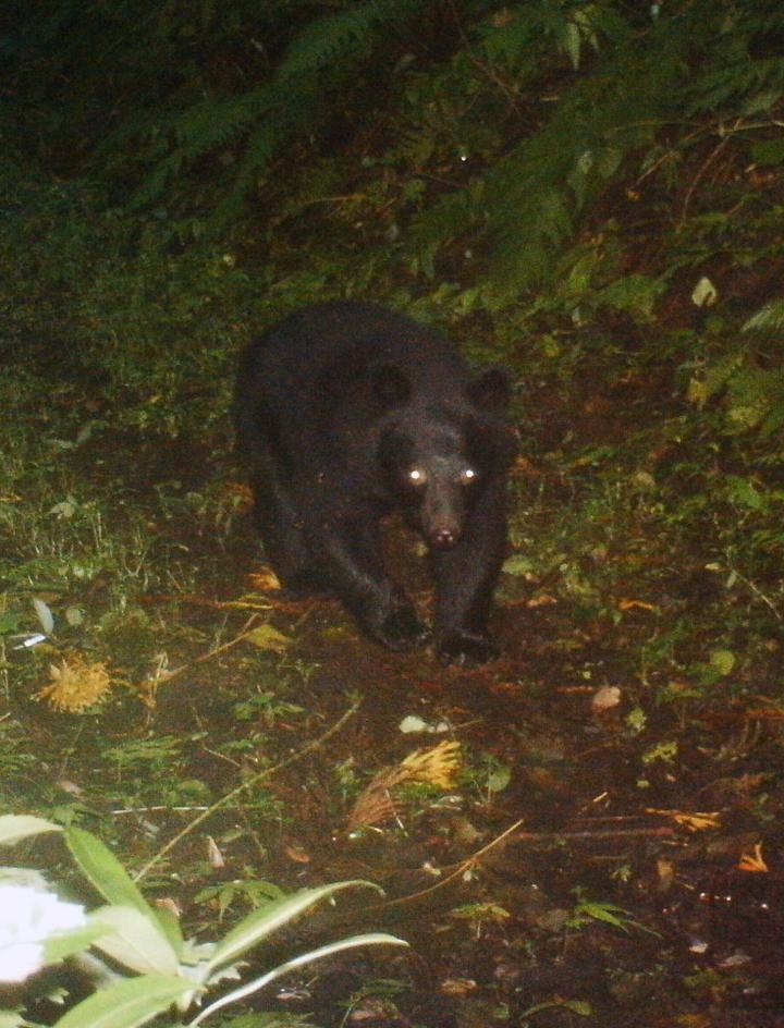 林道上を歩くツキノワグマ。市販のセンサー一体型カメラなので画質がよくない