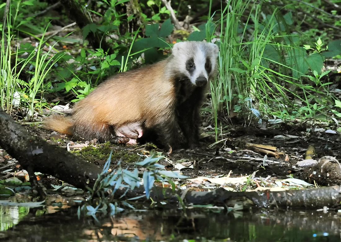 池の水辺でカイツブリの巣を狙うお母さんアナグマ