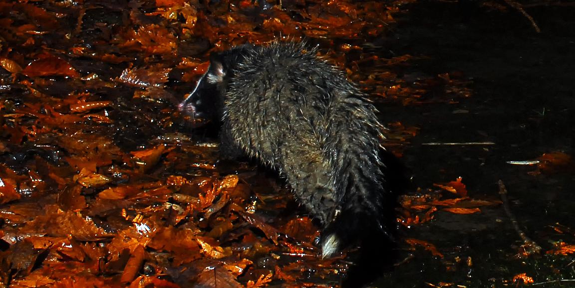 雨に濡れたハクビシン。別の生き物に見えた