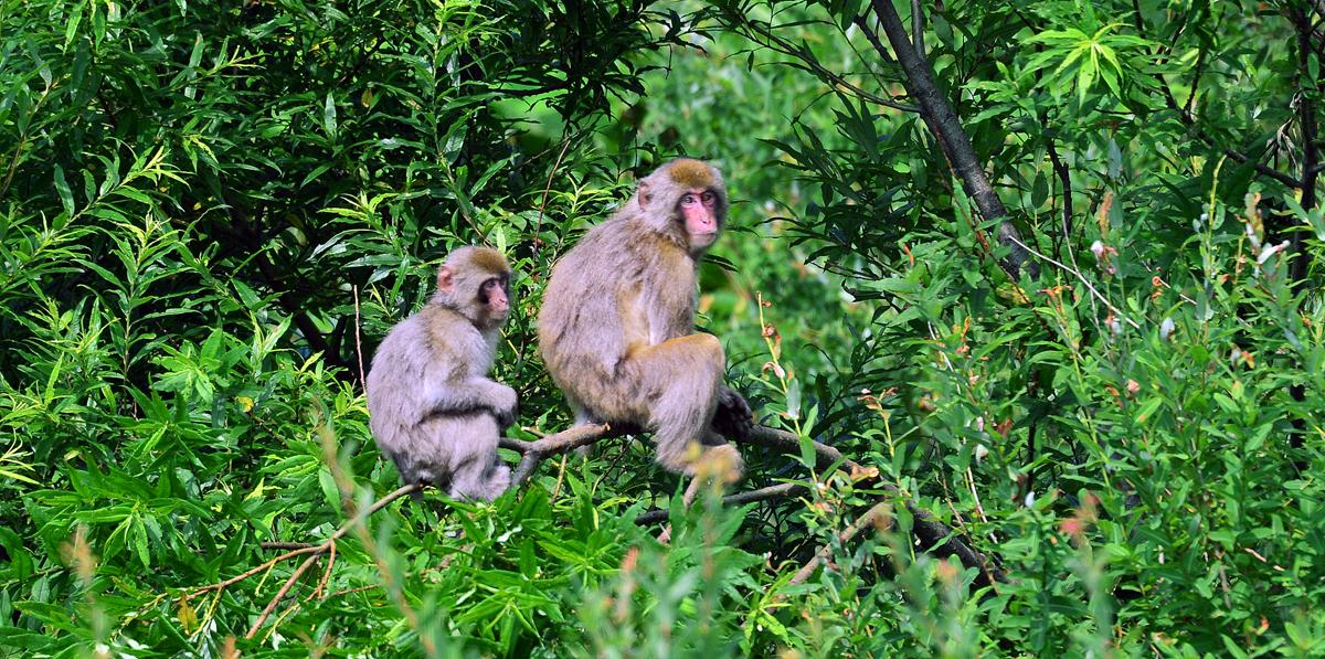 母サルがカボチャを持ち帰るのを木の上で待つ子ザルたち