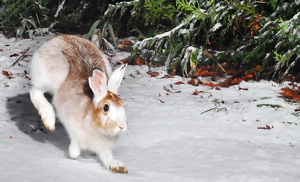 雪上を走るまだら模様の個体。この時期のウサギはフクフクしていて、とても愛らしい