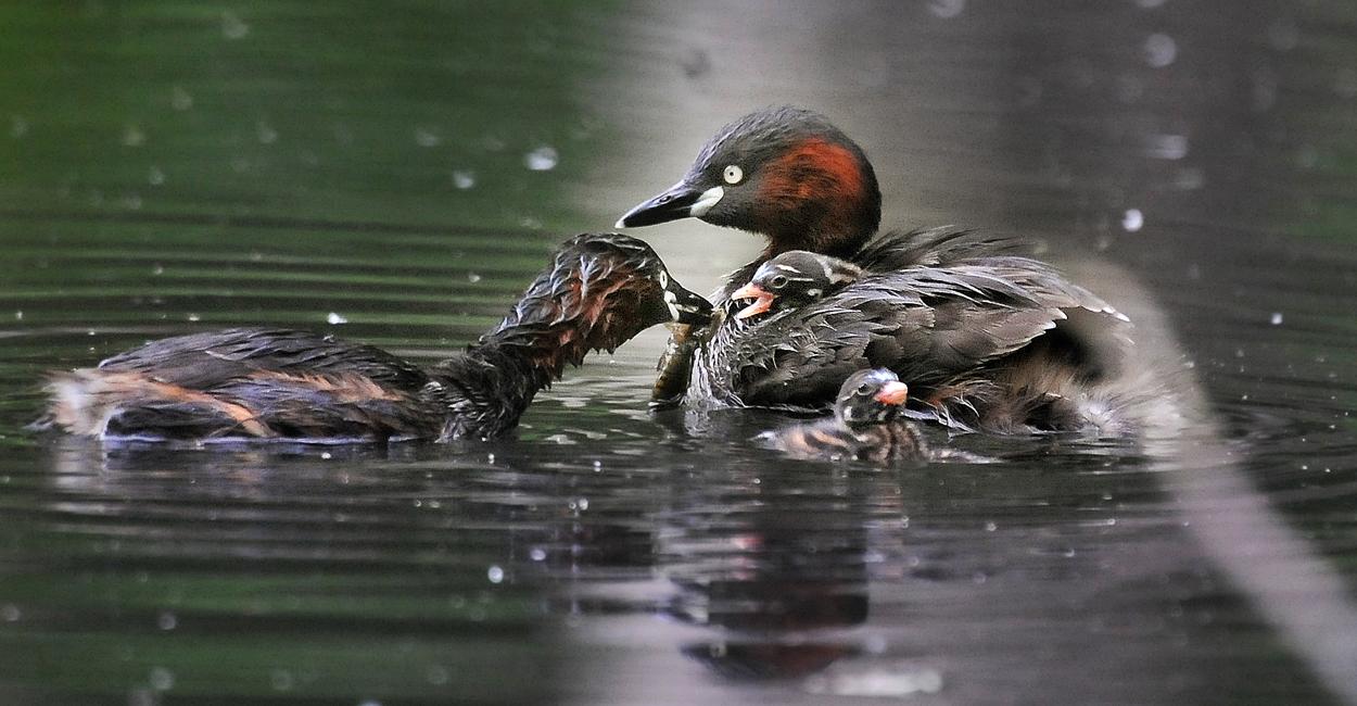 一羽のヒナはずっとお母さんの背に乗ったまま、お父さんに餌をおねだり。甘えん坊さん