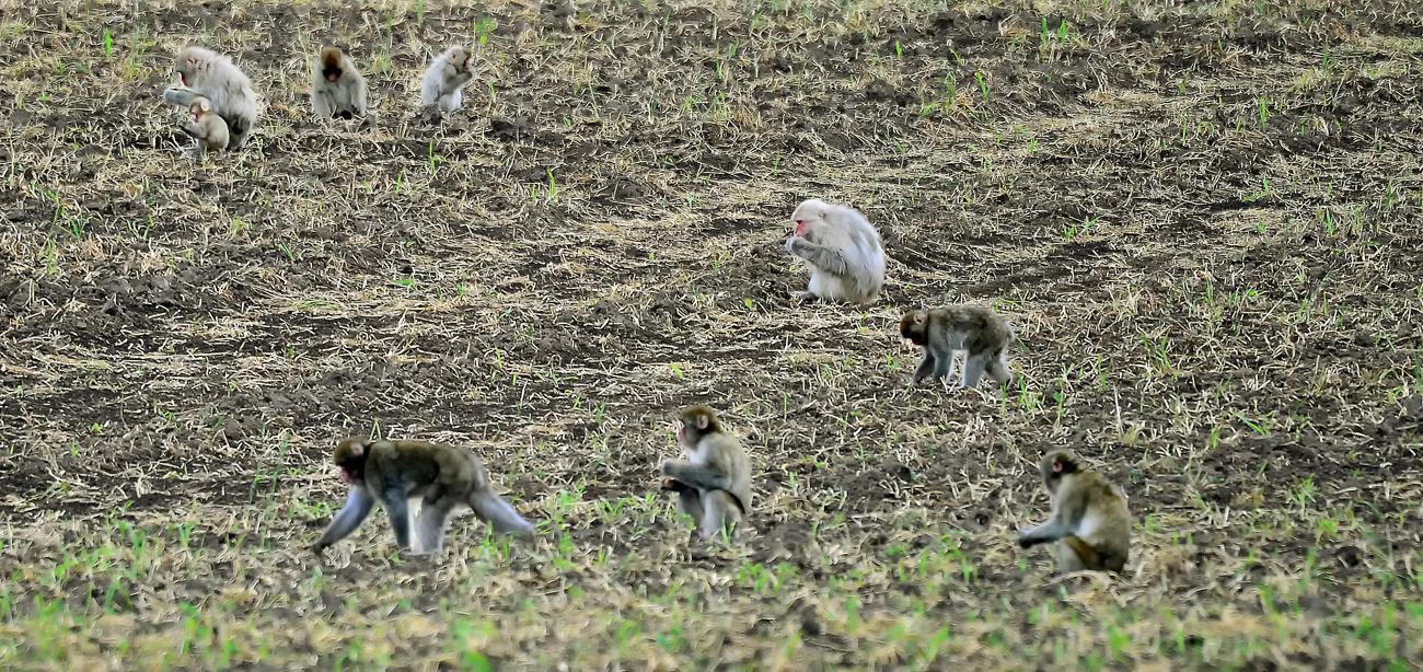 収穫後の農場で落穂を拾うサルの群れ、同町で