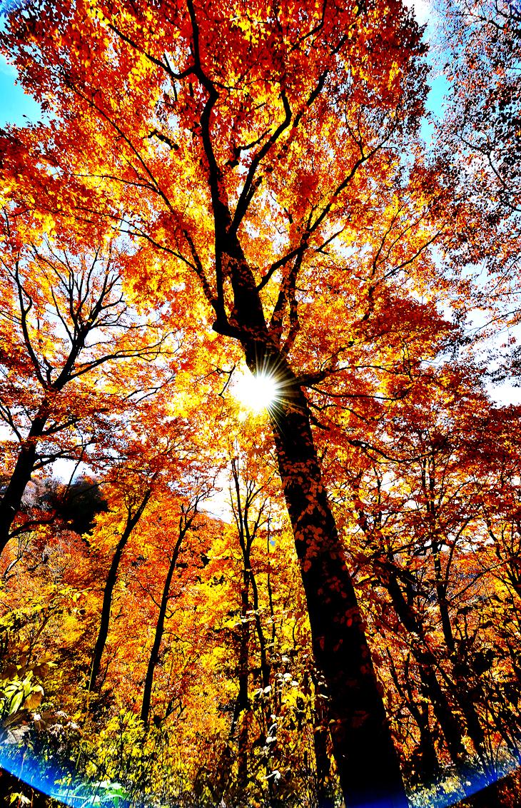 鮮やかな秋色に染まったブナの木を木漏れ日が包み込んだ=深浦町で