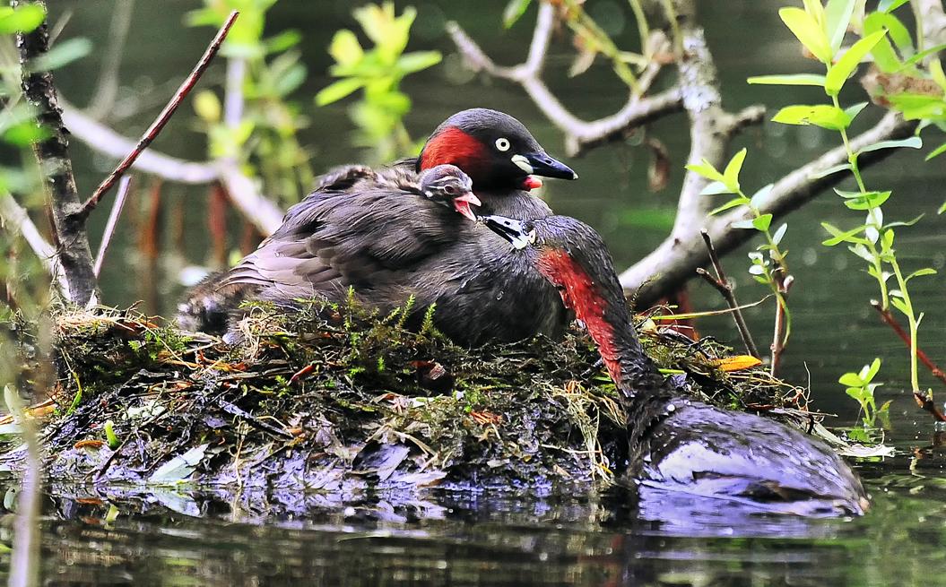母鳥の背中に載ったヒナに餌を与えるお父さん