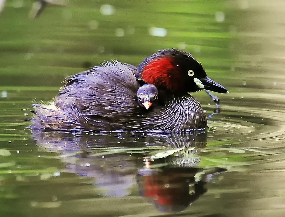 ヒナを載せた親鳥