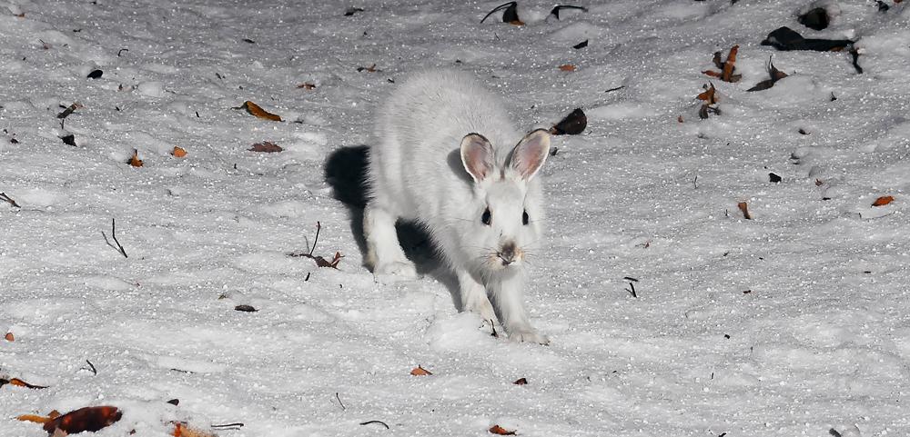 降り積もった雪の上をトコトコ歩くトウホクノウサギ。ストロボの光にも動じていない