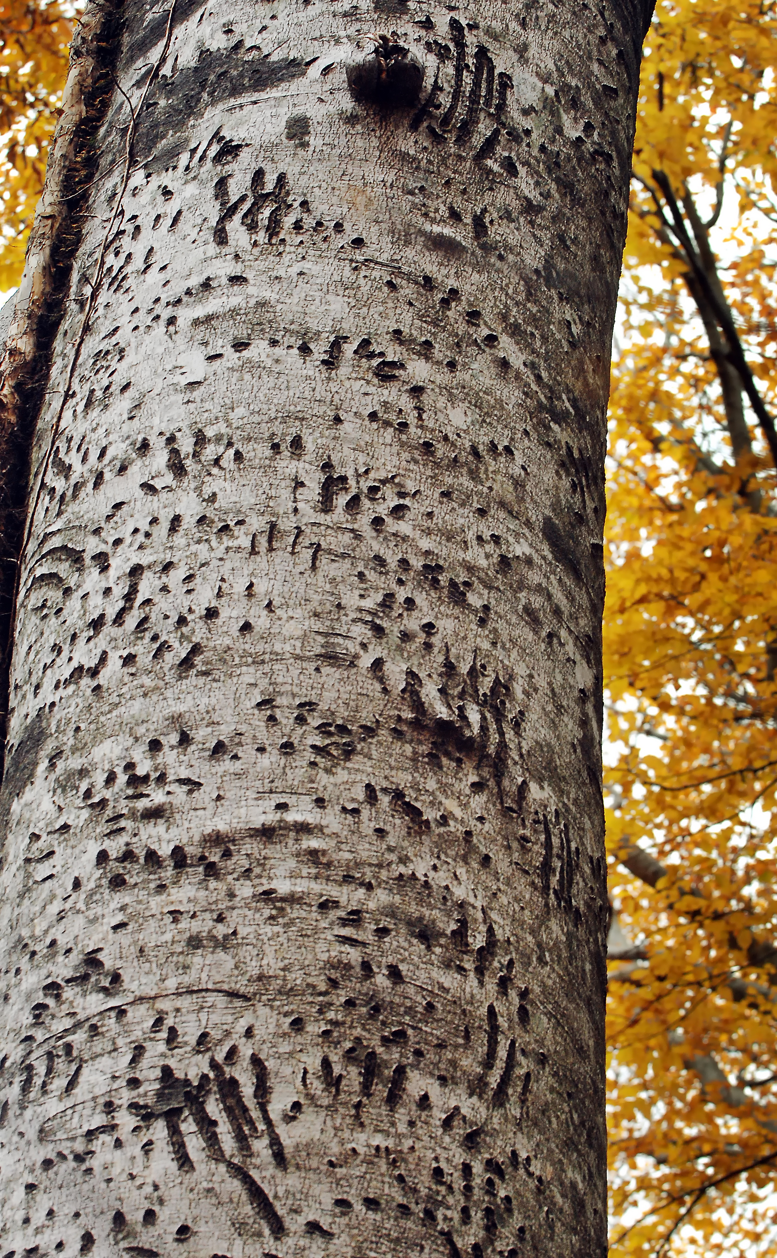 樹皮がクマの爪痕だらけになっているブナ。遺産地域のバッファゾーンに近い森で撮影、深浦町で