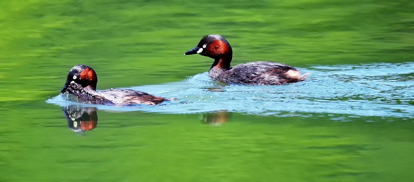 夫婦で巣作り。新緑が映える湖面を水底に沈んだ草や木の葉をクチバシで咥えて巣まで運ぶ