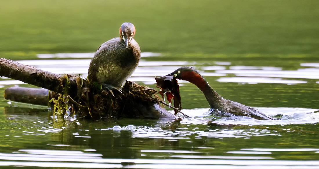 夫婦で巣作り。水倒木や浮草などに水草や木の葉などを重ねて築き上げる
