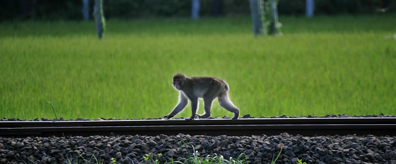 鉄道ファン垂涎の「五能線」の線路上を歩く。この軌道が、近くの畑を荒らした後、山へ戻る最短距離だった、深浦町で