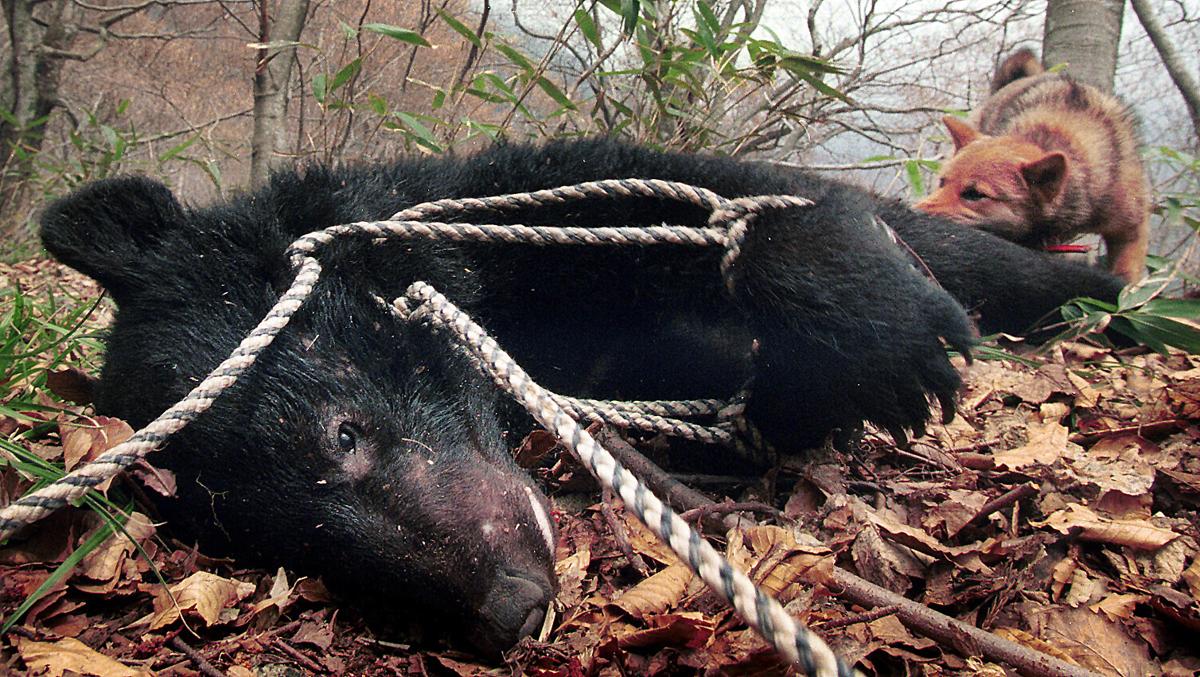 巻狩りでマタギたちに仕留められたツキノワグマ。熊猟用に仕込まれたアイヌ犬が踵に噛み付いていた