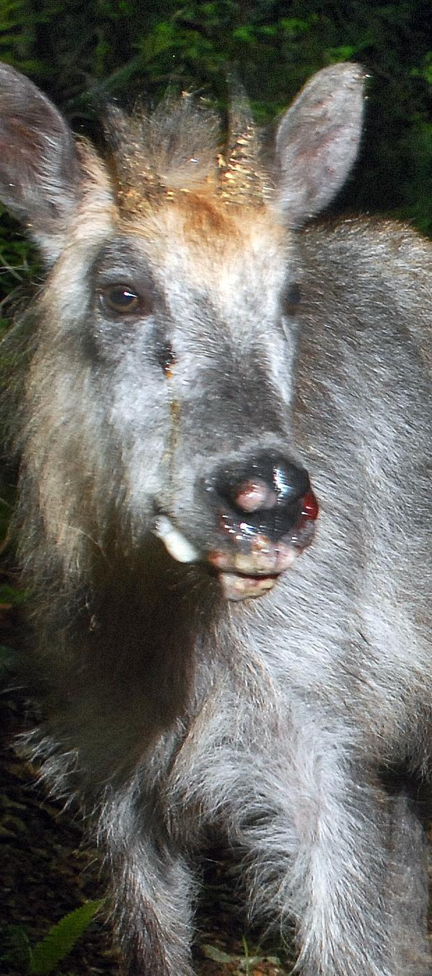 口や鼻先に腫瘍ができて、泡を吹くカモシカ