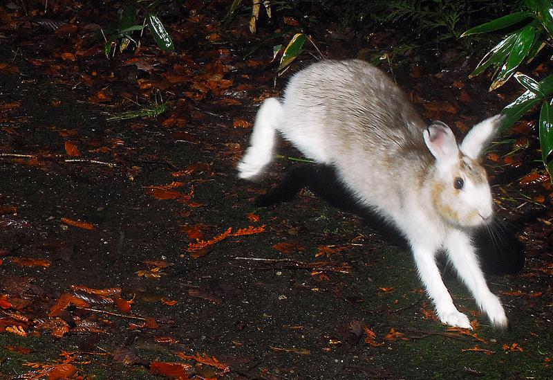 晩秋の遊歩道を駆け抜ける。この時期のウサギの色が一番好き