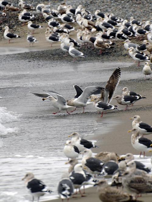 砂浜に打ち寄せられるハタハタの卵を咥えるカモメ、深浦町の海岸で