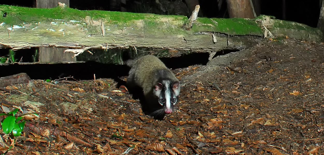 倒木の下を通じる獣道から姿を見せたハクビシン。ピンク色のお鼻が愛らしい、深浦町の十二湖で