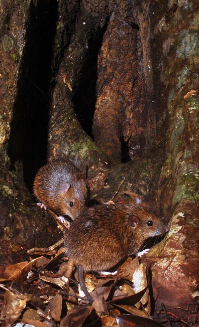 木の根元に現れたオキナワトゲネズミ、本島北部のやんばるの森で