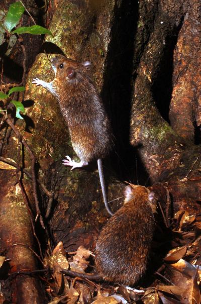 高くジャンプするのがこのネズミの特徴。ストロボの光線とともに大きく上に飛んだ