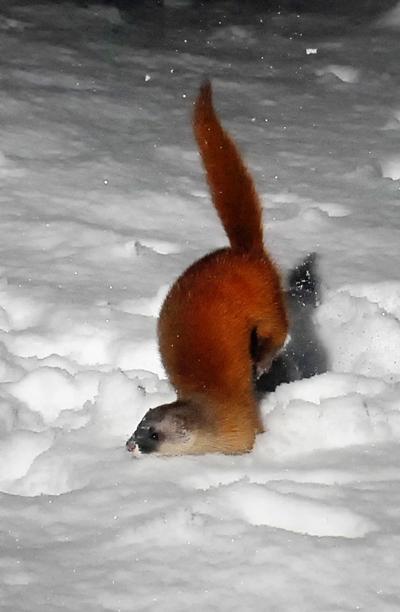 私らが雪上につけた足跡に落ちてシャチホコのような姿に