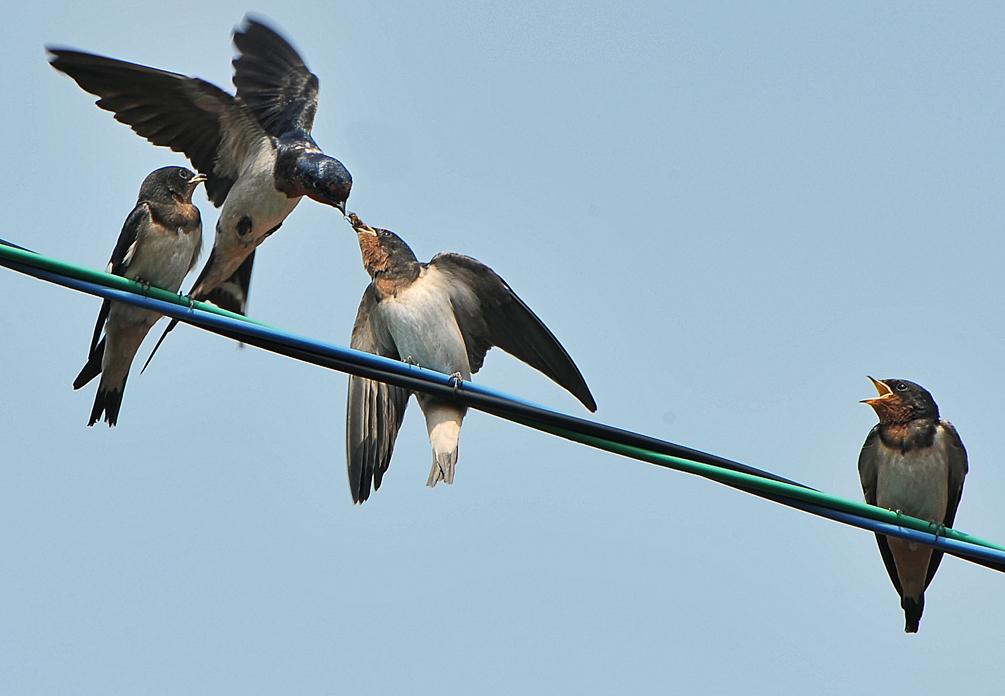 空中の親鳥から口移しで餌をもらう。ナイスキャッチ