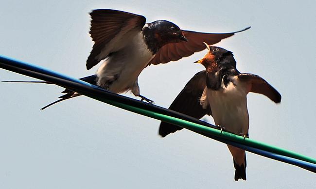 電線にとまった雛に餌を与える親鳥=深浦町で