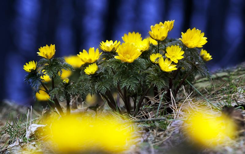 初春の海辺に近い森で満開になったフクジュソウ、深浦町で