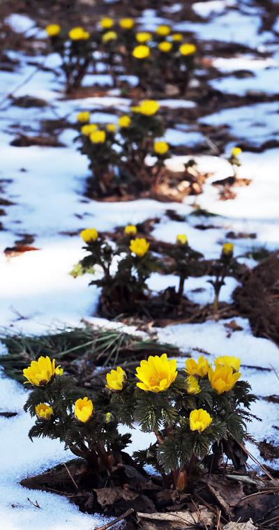 雪を割って花を咲かすフクジュソウ。日が陰っているため花が開かない