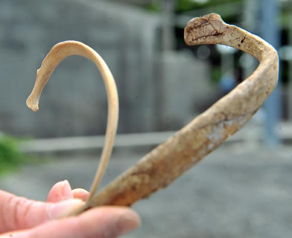 写真上、国吉さんたちが掘り出した赤ちゃんの肋骨(左)。大人のものと比べるとその差がわかる