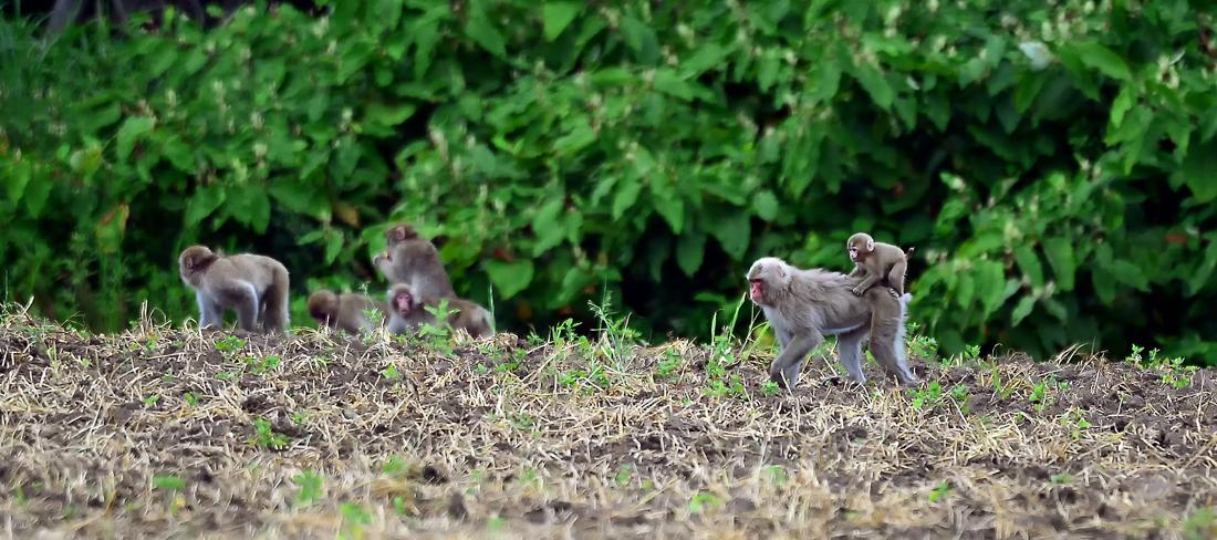 農園で落ち穂を披露サルの家族