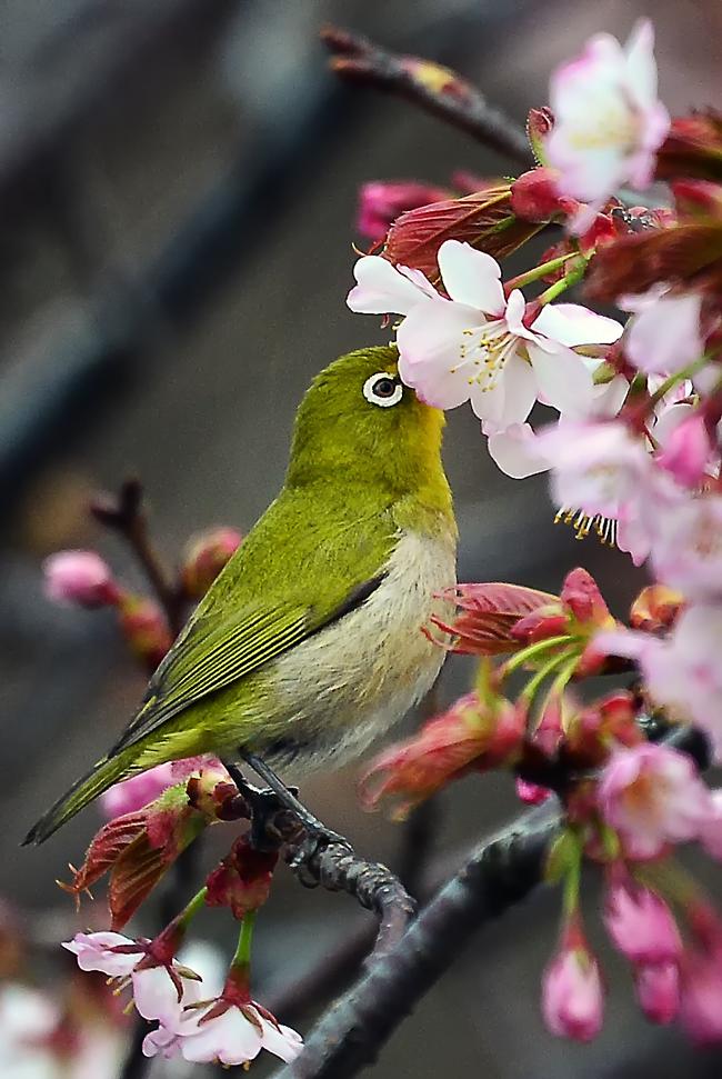 オイラ甘いの大好き。花の中に嘴を入れてチュウチュウ
