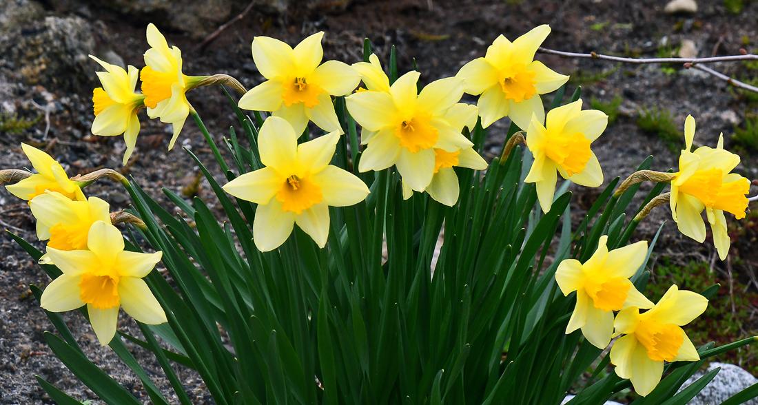 我が家の庭先に咲いたスイセン。何もしないでほったらかしていても、これだけ増えた