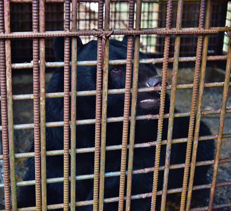 子グマの時に捕獲され10年以上も檻の中で飼われているツキノワグマ。とても大人しく、ネマガリダケやドングリなどを投げ込むと喜んで食べている
