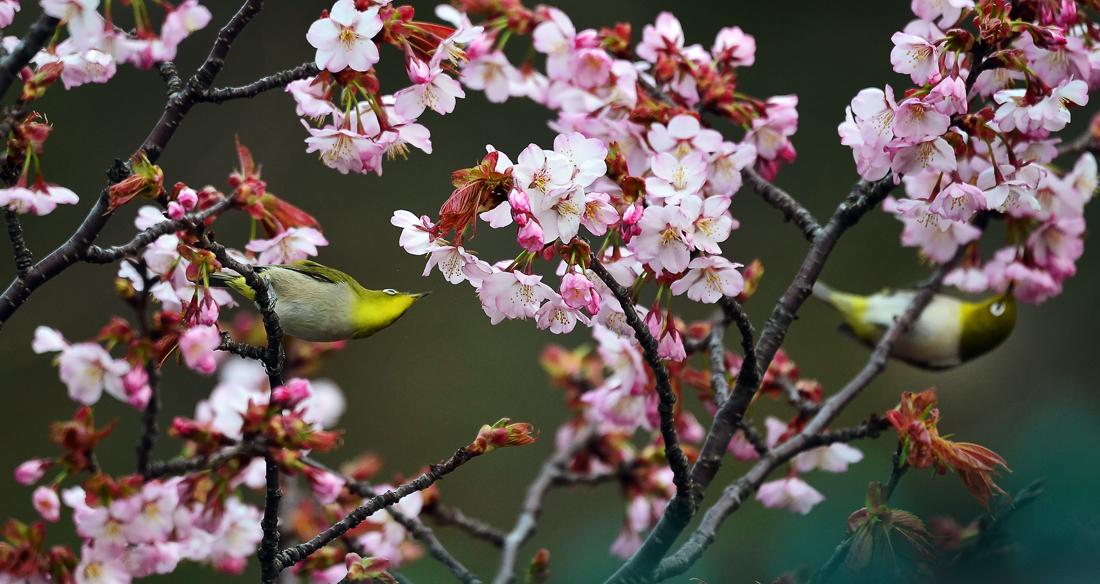 2羽がぶら下がって桜の蜜を吸う。夫婦かな?