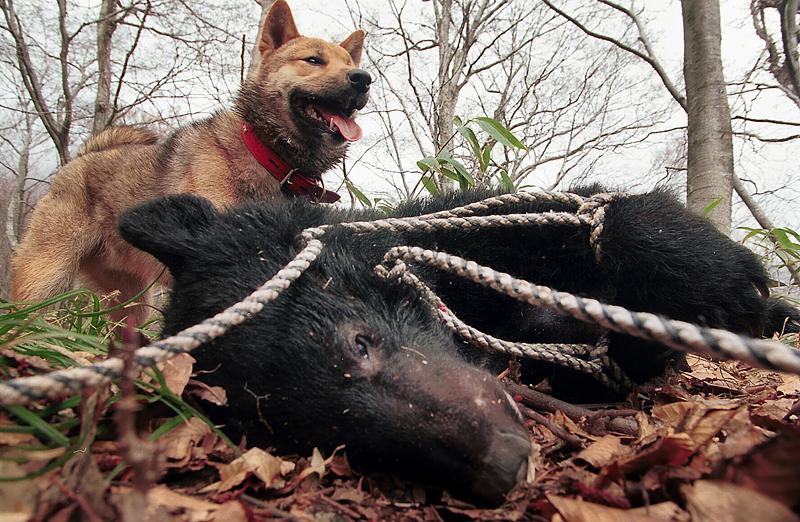 伊勢親方らが仕留めたクマを前に得意満面のアイヌ犬・ロッキー=深浦町で