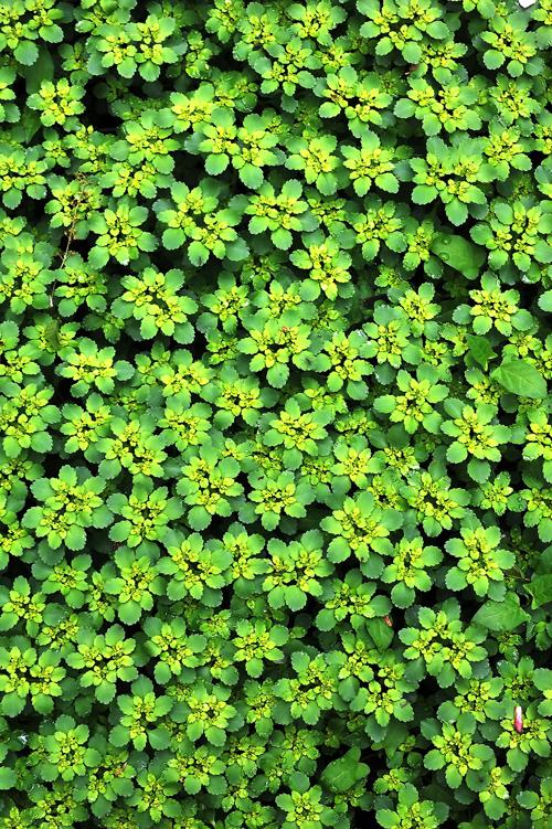 トウダイグサの仲間。つぼみを包んでいた苞葉の中に黄色い花を複数つける。その姿を燈火の皿に見立てたことから「燈台」の和名がついた。 茎や葉を傷つけると白い乳液を出す。これも有毒草