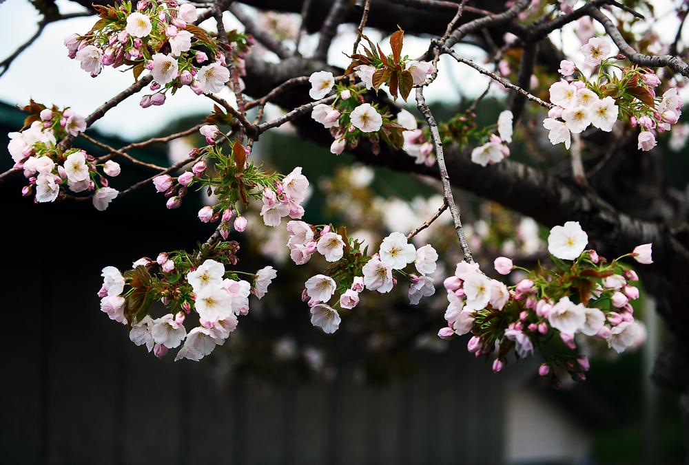 八重桜①hp