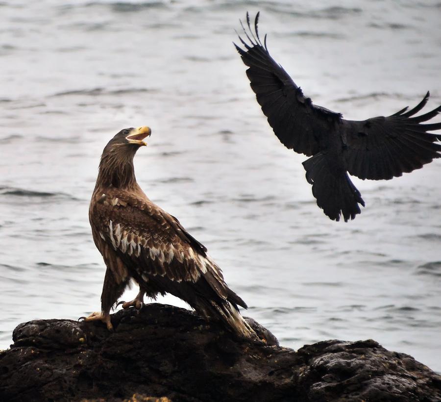 時間と共にカラスの攻撃は激しさを増した。のんびり羽を休めていたワシの方が気の毒に思えてきた