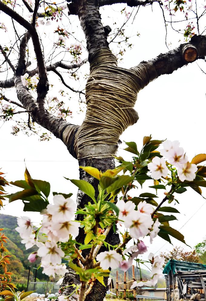 八重桜⑤hp