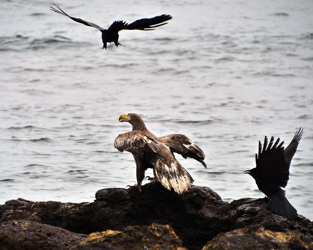 2羽が挟み撃ちにして威嚇。空の王者もタシタジ