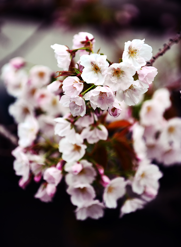 八重桜④hp