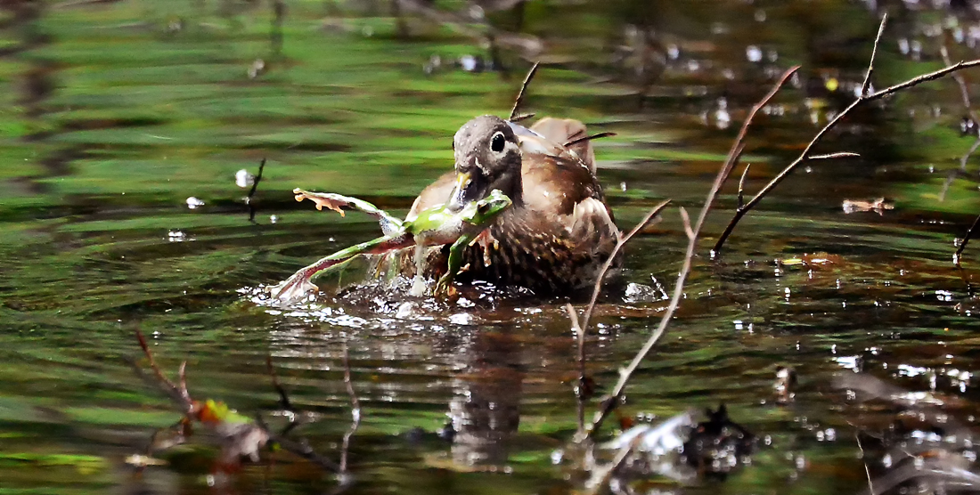 驚いたことにオシドリが頻繁に大きなモリアオガエルを採餌していた。カエルが膨らむと岸に叩き付けて小さくしてから飲み込んでいた