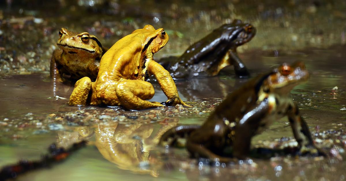 水たまりに集まっていたアズマヒキガエル。産卵行動の真っ最中だった、深浦町で