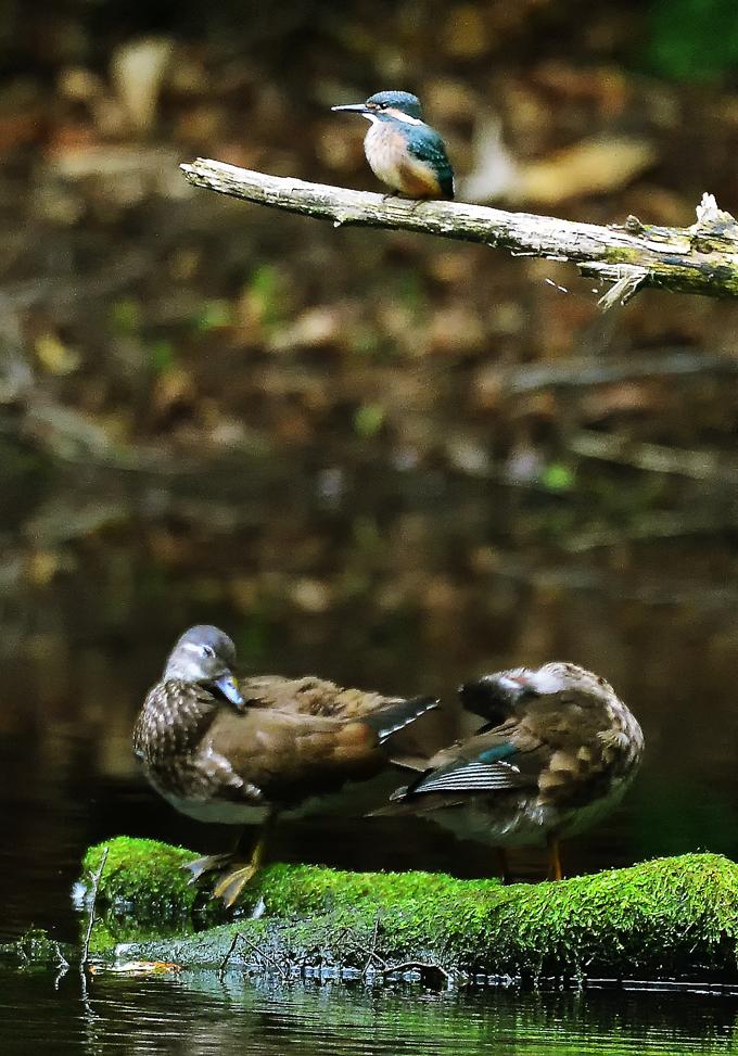 池の倒木にカワセミと同居。まったく気にしないでのんびりとくつろぐ夫婦