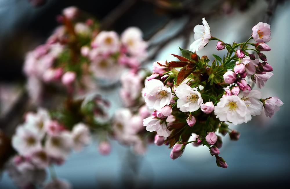 八重桜②hp