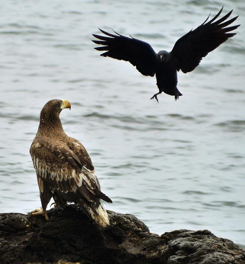岩の上で羽を休めるオオワシにカラスが果敢にアタック、深浦町で