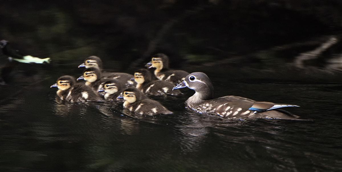 7羽のヒナを連れたお母さん。子どもたちに指示を与えながらキビキビと泳ぐ、深浦町で