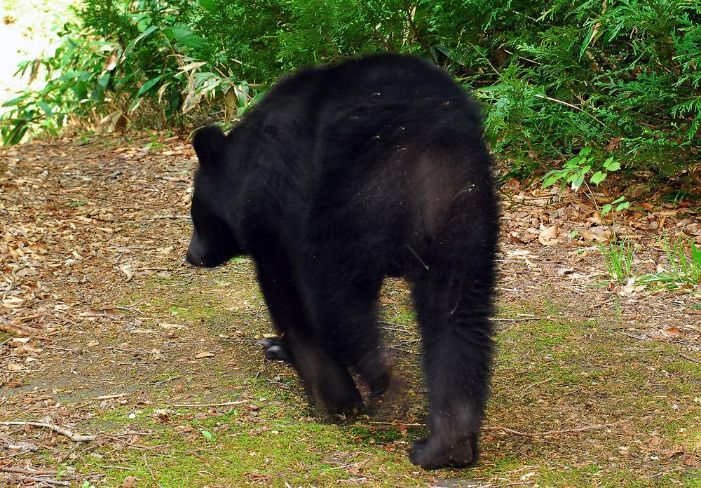 今年の5月25日朝、ロボットカメラの前を横切ったクマ。走るわけでもなく、堂々と遊歩道を歩いていた、深浦町で