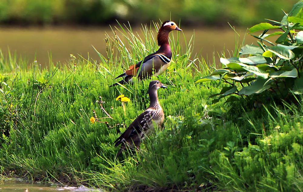 水を張った田で餌を探す夫婦。オスが先に畦道に上がって安全確認をした