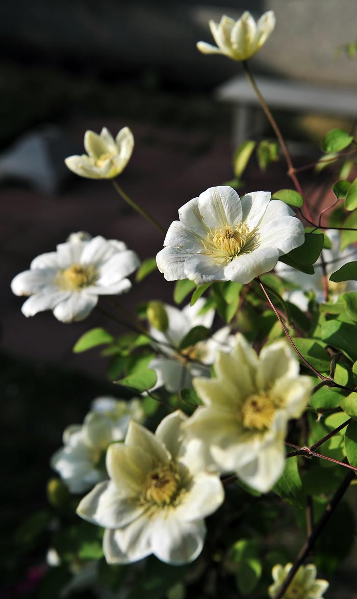 満開になったクレマチスの花