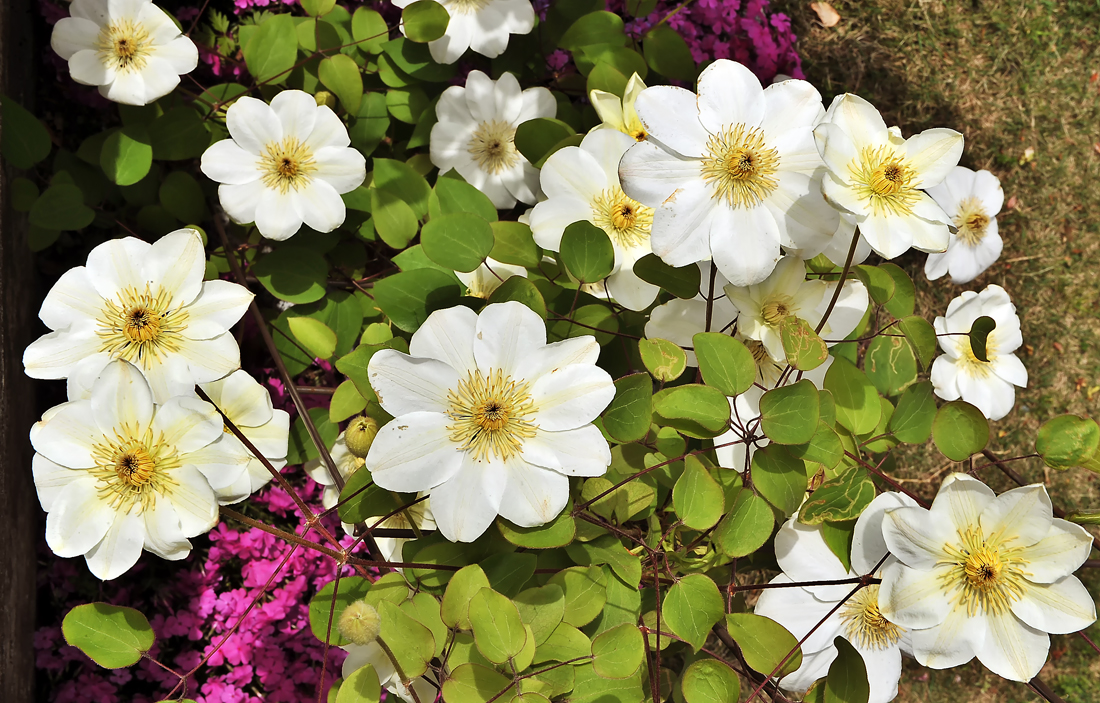 艶やかに庭を彩ります